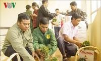 Kon Tum unterstützt Bürger mit 46.500 Setzlingen von Ginseng Ngoc Linh