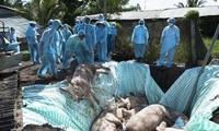 USA helfen Vietnam bei Herstellung eines Vakzins gegen Schweinepest aus Afrika