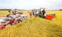 Reisproduktion im vietnamesischen Mekong-Delta erreicht Rekorderträge