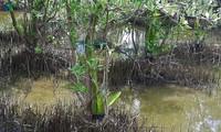 Der spezielle Drachenfrucht-Anbau in der Provinz Ca Mau