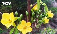 Gelbe Aprikosenblüte im heiligen Berg Yen Tu