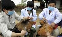 Vietnam se esfuerza por evitar contagio de gripe aviar H7N9 y H5N1