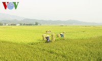 Vietnam figurará entre los cinco mayores productores de arroz en 2017