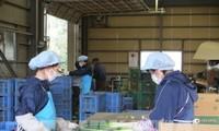Vietnam se esfuerza para proteger la salud de sus aprendices en Japón