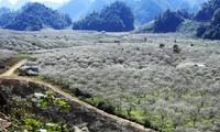 Valle de ciruelos de Na Ka, paraíso en la provincia de Son La