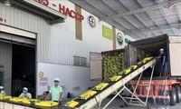 Vietnam envía el primer lote de arroz libre de impuestos a la UE