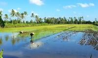 Ca Mau desarrolla una marca de arroz orgánico