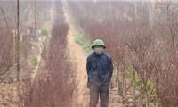 Ambiente dinámico en los viveros de melocotoneros y kumquats en Hanói en vísperas del Tet