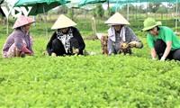 Jóvenes vietnamitas apuestan por la agricultura orgánica para montar sus propios negocios