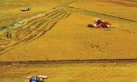 Éxitos del Modelo de cultivo extensivo de arroz en An Giang