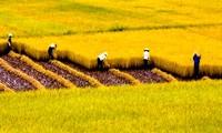 Eficiencia del cultivo extensivo en la construcción de nuevo campo en Vietnam