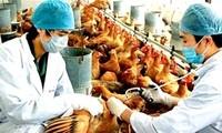 Arrecia Vietnam medidas preventivas contra la gripe aviar tipos H5N1 y H7N9