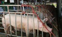 일부 기업, 돼지고기 가격 인하