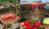 치미 딸기 농장 탐구 – 목 쩌우의 매력적인 관광지