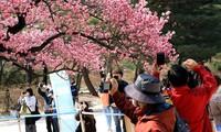 한국 벚꽃 축제의 새로운 면