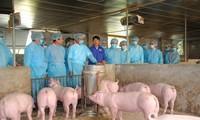 Les États-Unis aident le Vietnam à développer un vaccin contre la peste porcine africaine