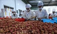 Le litchi vietnamien arrivé dans les supermarchés singapouriens