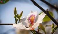 Hoa ban - loài hoa biểu tượng của núi rừng Tây Bắc