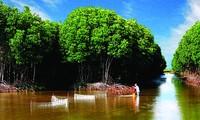 Melakukan budidaya perikanan di bawah bayangan pohon hutan, membantu hutan keasinan Tra Vinh hidup kembali