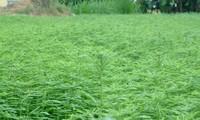Metode pengobatan herbal  yang digunakan untuk mengobati penyakit hati di Vietnam