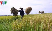 Производство риса по международным стандартам для повышения его конкурентоспособности