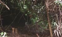 В национальном парке Фонгня-Кебанг обнаружены дикие быки и саола