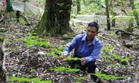 Жизнь народности Седанг в провинции Контум улучшается благодаря лекарственным растениям