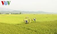 FAO: le Vietnam figure au top 5 mondial des pays producteurs de riz
