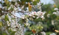 Diên Biên : les fleurs de bauhinie en fête