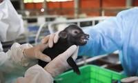Lần đầu tiên Việt Nam nhân bản thành công lợn ỉ từ tế bào soma