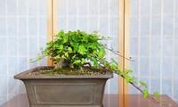 ต้นไม้แห่งความโชคดีคนเวียดนามใช้ตกแต่งในบ้านช่วงตรุษเต๊ตตามประเพณี (บทที่ 2)