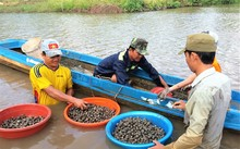 Blood cockle farming gives Ca Mau locals a new life