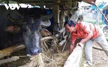 ホレ族の生活における水牛の役割
