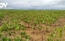 クアンニン省ドンルイ村の湿地林の復活
