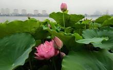 Lotus-Tee nach Art der Hanoier