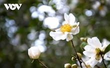 Уезд Биньлиеу в сезон цветения белой камелии масличной