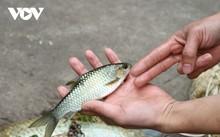 ปลา Bỗng – เมนูเด็ดของชุมชนเผ่าไตในจังหวัดเอียนบ๊าย
