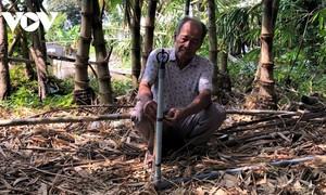 Ca Mau farmer successfully grows bamboo shoots in saline water area