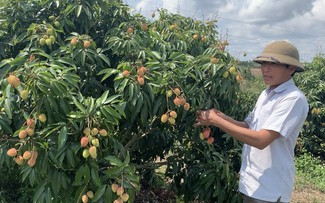 Central Highlanders earn a good profit from growing lychees in impoverished soil
