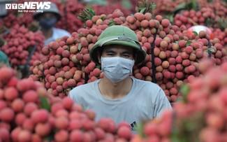 Exploring the lychee capital of Vietnam in harvest season