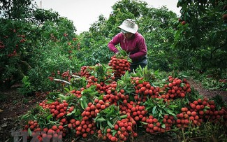 Bộ Nông nghiệp: chủ động các phương án tiêu thụ xuất khẩu vải thiều