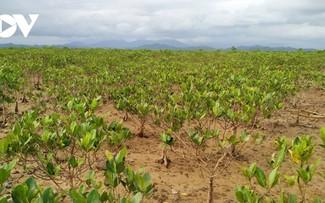 Восстановление мангрового леса Донгруй в провинции Куангнинь