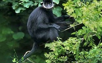 Endangered langurs spotted in Quang Binh forest
