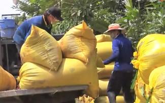 安江省联手帮助农民销售大米