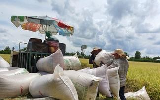 Vụ lúa Đông Xuân vùng Đồng bằng Sông Cửu Long thắng lớn