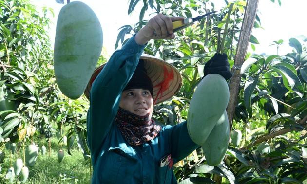 Provinsi Son La memperkuat ekspor hasil pertanian