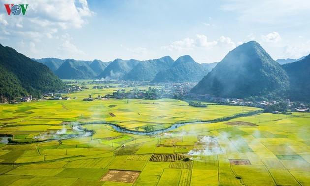 Los campos de arroz de Bac Son se vuelven amarillos en temporada de cosecha