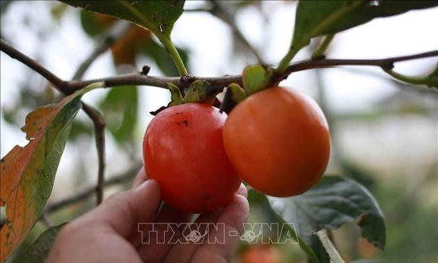 Le kaki, roi des fruits de Dà Lat