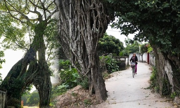 Tale of a 500-year-old tree serving as a village gate