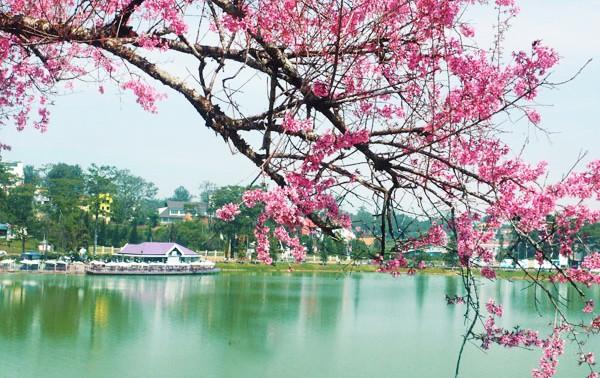 Pembukaan bunga Mai-Sakura Da Lat